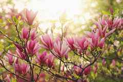 Pink magnolia Royalty Free Stock Photos