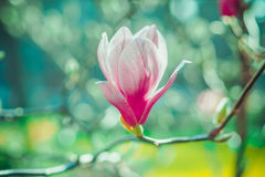 Pink Magnolia flower on the blurred background Stock Image