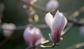 Pink magnolia flower on branch Royalty Free Stock Images