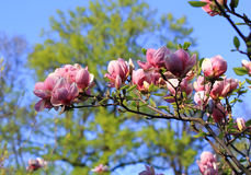 Pink magnolia flower branch Royalty Free Stock Photos