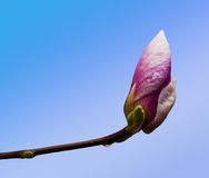 Pink magnolia flower bud closeup Royalty Free Stock Photos