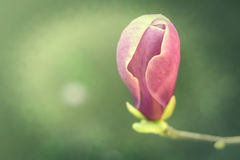 Pink magnolia flower Royalty Free Stock Image