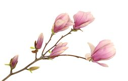 Pink magnolia stock photography