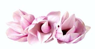 Pink magnolia Stock Image