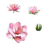 Pink magnolia flower, Spring bloom, Lotus, water Royalty Free Stock Photography