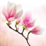 Pink magnolia flowers Stock Image