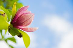 Pink magnolia flowers the background is sky royalty free stock photography