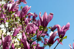 Pink magnolia flowers Stock Images