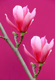 Pink magnolia flowers Stock Photos