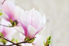 Pink magnolia flowers blooming on magnolia tree branches.Magnolia soulangeana royalty free stock image