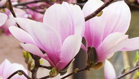 Pink magnolia flowers blooming on magnolia tree branches.Magnolia soulangeana stock images