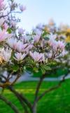 Pink magnolia flowers blossom stock image
