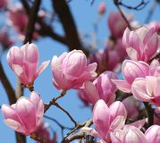 Pink magnolia flowers with blue sky royalty free stock photos