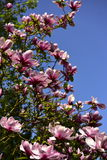 Pink Magnolia flowers Royalty Free Stock Images