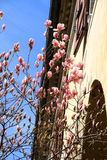 Pink magnolia flowers Royalty Free Stock Photos