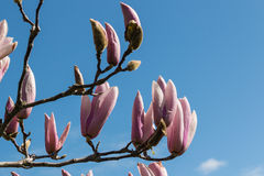 Pink magnolia flowers and buds Royalty Free Stock Photography