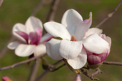 Pink magnolia flowers close up Royalty Free Stock Images