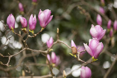Pink magnolia flowers Stock Photos
