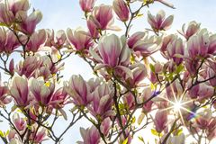 Pink magnolia flowers in the garden Royalty Free Stock Images