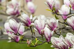 Pink magnolia flowers in the garden Stock Photos