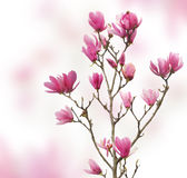 Pink magnolia flowers isolated Stock Photos