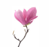 Pink magnolia flowers isolated Royalty Free Stock Photography