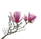 Pink magnolia flowers isolated Stock Photo