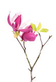 Pink magnolia flowers isolated Royalty Free Stock Images