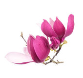 Pink magnolia flowers isolated Stock Images