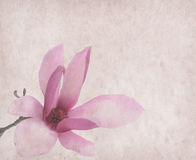 Pink magnolia flowers on old paper Royalty Free Stock Photos