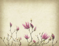 Pink magnolia flowers on old paper Stock Photos