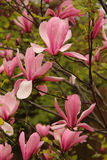 Pink Magnolia flowers in spring Stock Photography