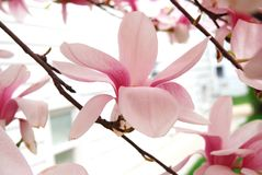 Pink magnolia flowers Royalty Free Stock Image