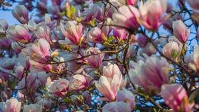 Pink Magnolia stock video footage