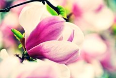 Pink magnolia in spring Royalty Free Stock Photos
