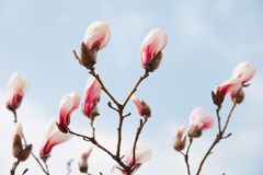 Magnolia Royalty Free Stock Images