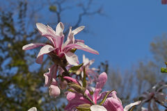 Pink magnolia stellata. Flowering branches pink magnolia stellata against the sky Royalty Free Stock Photography