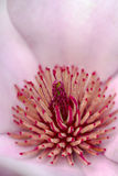 Pink Magnolia Stigma Royalty Free Stock Photo