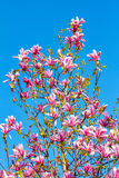 Pink magnolia in the street. Royalty Free Stock Image