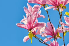 Pink magnolia in the street. Royalty Free Stock Photography