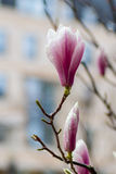 Pink magnolia in the street. Royalty Free Stock Images
