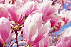 Pink Magnolia Tree. This is a cultivated species - a hybrid.  It has large white and pink flowers early in the spring.  The leaves are large and deciduous Stock Photos