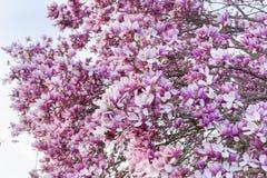 Pink Magnolia tree Royalty Free Stock Photography