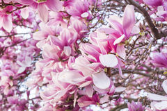 Pink Magnolia tree. Blooming Pink Magnolia tree -closeup Royalty Free Stock Images
