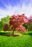 Pink magnolia tree. Blossomed pink magnolia tree in a sunny spring garden Stock Photo