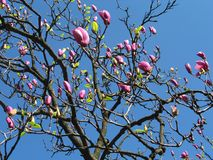 Pink Magnolia Tree Blossoming Royalty Free Stock Photos