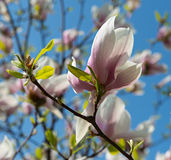 Pink magnolia tree blossoms Stock Photos