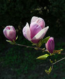 Pink magnolia tree blossoms Stock Image