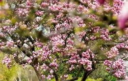 Pink magnolia tree blurred Royalty Free Stock Photos