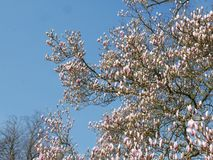 Pink magnolia tree coming into bloom Royalty Free Stock Photography